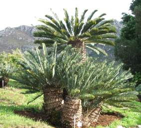 cycad - permits for moving cycads
